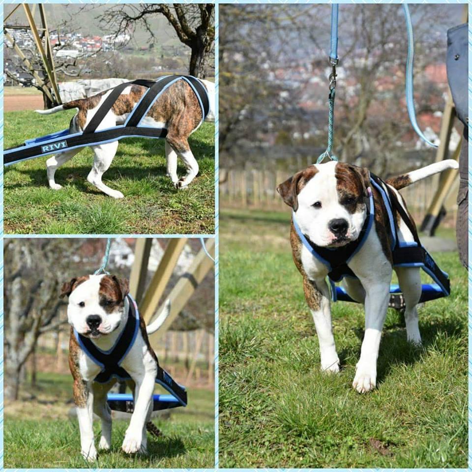 Szelki Do Weight Pullingu 5cm Passion Dogs Pl