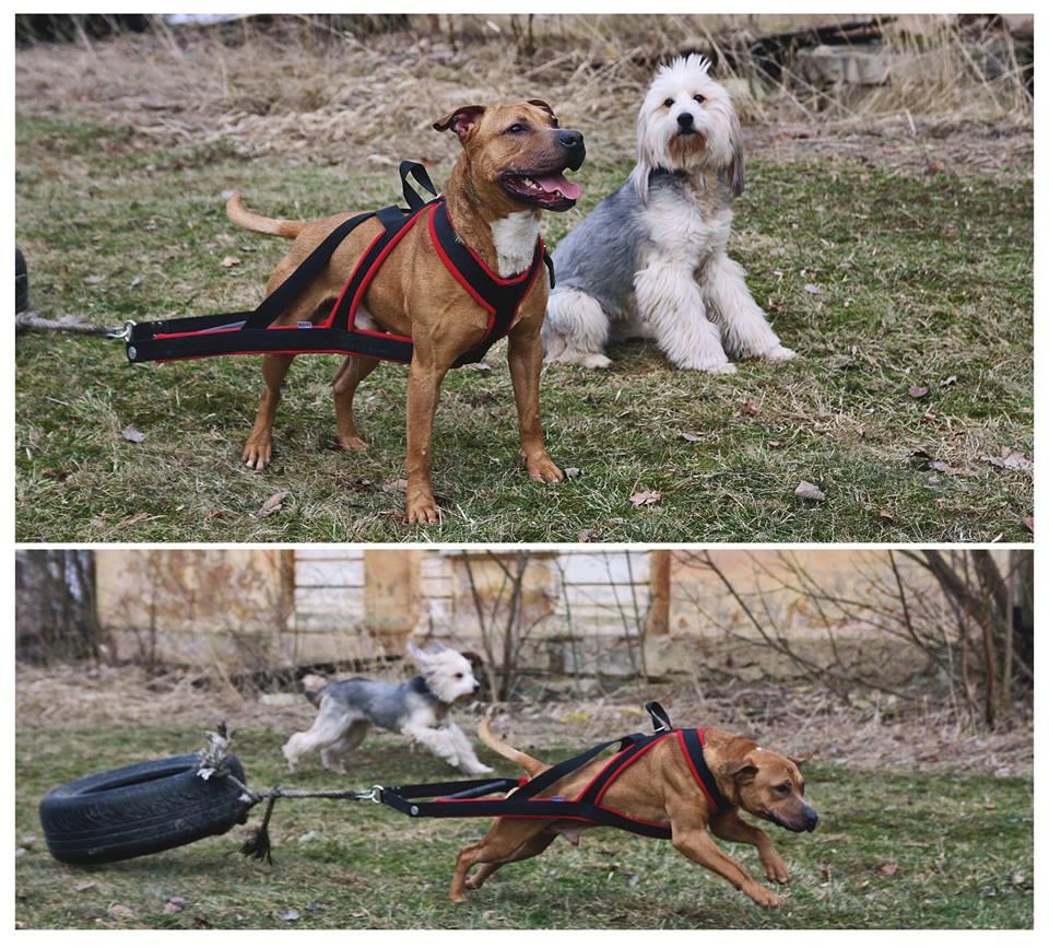 Szelki Do Weight Pullingu 4cm Passion Dogs Pl